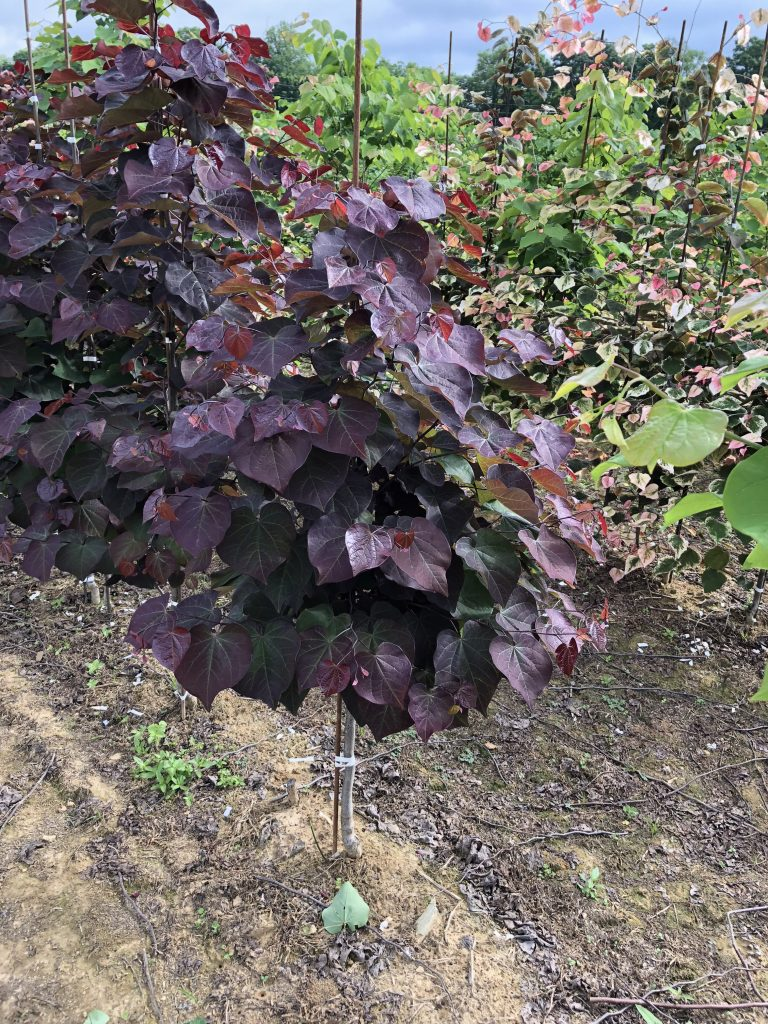 Redbud Black Pearl Commercial Nursery Co